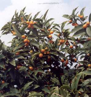 Fortunella margarita: Oval kumquat tree