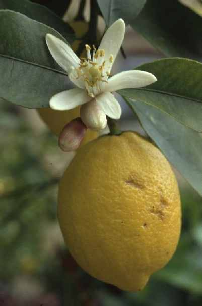 Citrus limon: Lemon flower and fruits