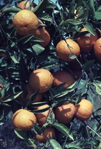 Citrus sinensis: Orange branch
