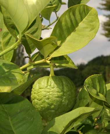 Citrus aurantifolia: Unripe lime on tree