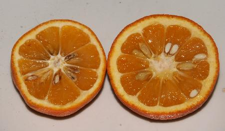 Citrus sinensis: Cross-section of Sevilla orange