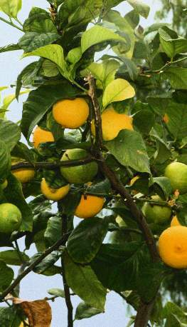 Citrus limon: Branch with ripe lemons