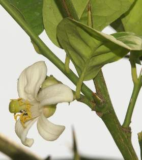 Citrus aurantifolia: Lime flower