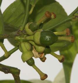 Citrus aurantifolia: Immature lime fruits
