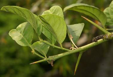 Citrus aurantifolia: Prickly lime twig