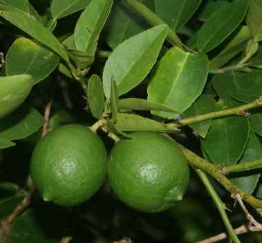 Citrus aurantifolia: Unripe limes on a lime twig