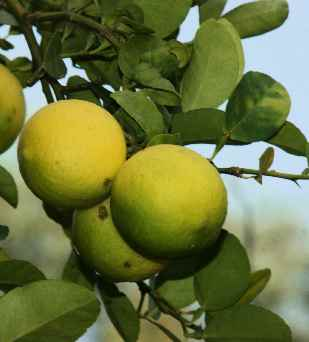 Citrus aurantifolia: Lime fruit