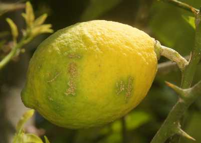 Citrus limon: Himalayan lemon fruit