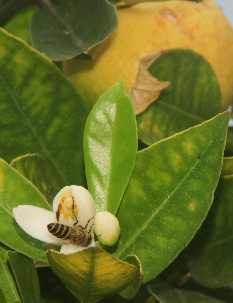 Citrus sinensis: Orange flower with bee pollinator