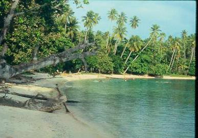 Spice Pages: Coconut (Cocos nucifera)