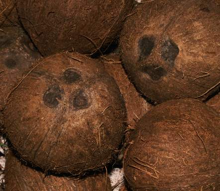 Cocos nucifera: Coconuts with three marks
