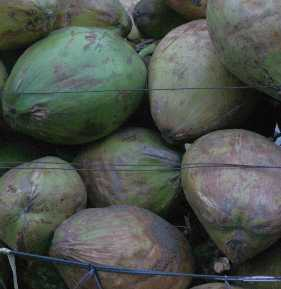 Cocos nucifera: Green coconut fruits