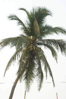 Cocos nucifera: Coconut tree