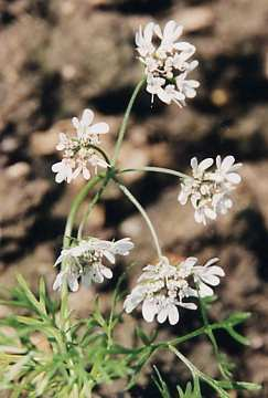 Coriandrum sativum: Coriander flower