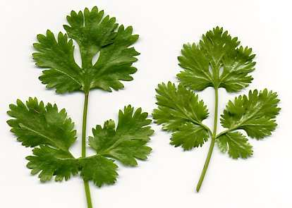 Coriandrum sativum: Cilantro leaves