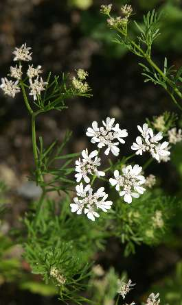 Coriandrum sativum: Coriander flower and leaves