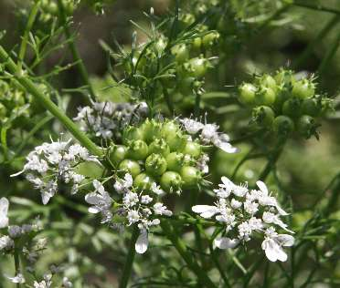 Coriandrum sativum: Coriander flower/fruit