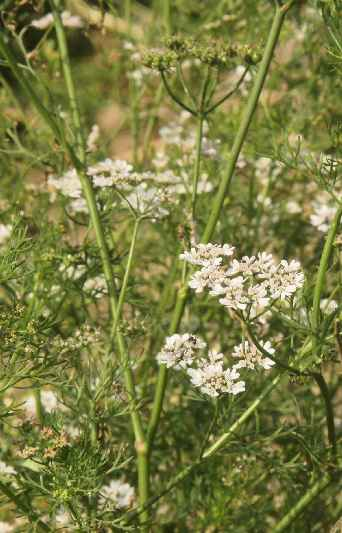 Coriandrum sativum: Coriander field
