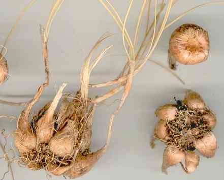 Crocus sativus: Saffron corms