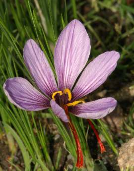 Crocus sativus: Saffron flower