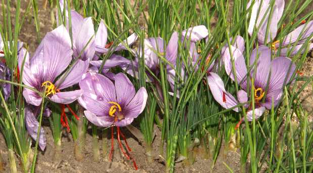 Crocus sativus: Group of saffron plants