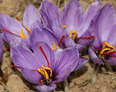Crocus sativus: Saffron flowers in Kashmir