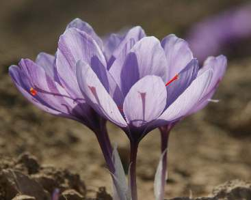 Crocus sativus: Saffron flowers