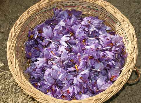 Crocus sativus: Saffron harves in Kashmir/India