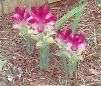 Curcuma zedoaria: Ornamental flower
