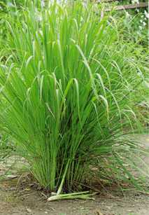 Cymbopogon citratus: Lemon grass plant