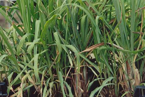 Cymbopogon citratus: Lemon grass