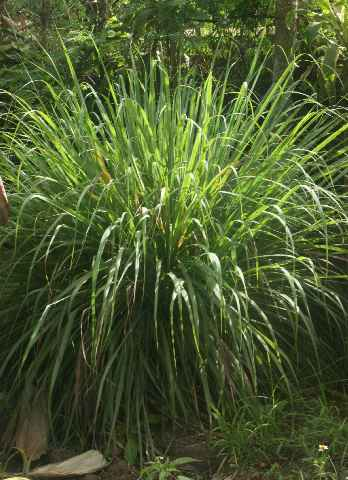 Cymbopogon citratus: Lemon grass bush