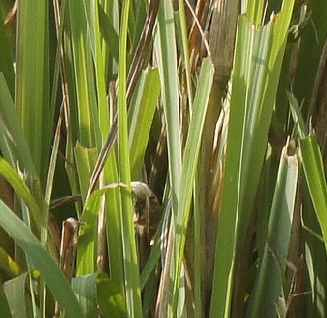 Cymbopogon citratus: Leaves of lemon grass