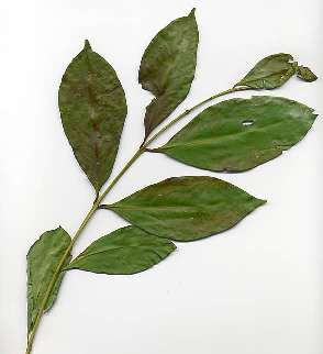 Spice Pages Indonesian Bay Leaf Eugenia Polyantha Syzygium Polyanthum Daun Salam