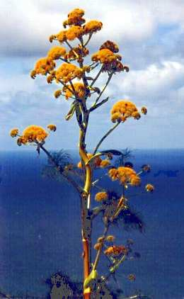 Ferula communis: Flowers of Giant Fennel