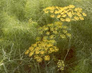 Foeniculum vulgare: Fennel with flowers