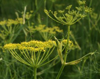 fennel seeds german