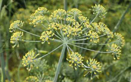 Spice Pages: Fennel Seeds (Foeniculum vulgare)