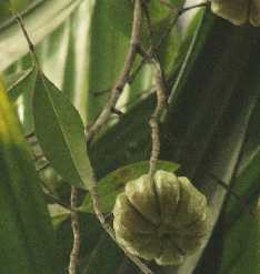 Garcinia cambogiana: Goraka fruit on tree
