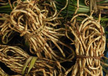 Houttuynia cordata: Chameleon plant rhizomes on sale at Ima Keithel in Imphal, Manipur