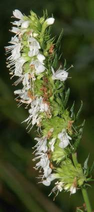 Hyssopus officinalis: White-flowered hyssop
