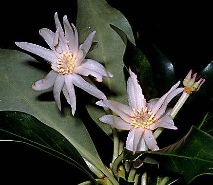 Illicium verum: Star anis with flowers