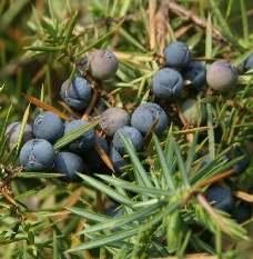 Spice Pages: Juniper (Juniperus communis)
