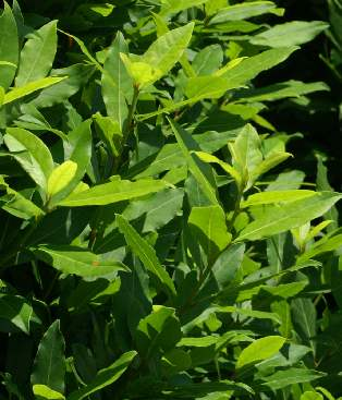 Laurus nobilis: Laurel shrub