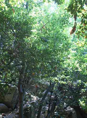 Laurus nobilis: Laurel forest in Daphne (Harbiye), Turkey