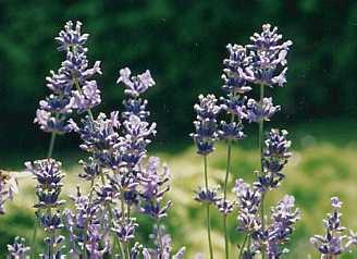 Lavandula angustifolia: Flowering lavender plants