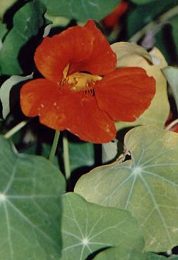 Tropaeolum majus: Nasturtium (flower and leaves)