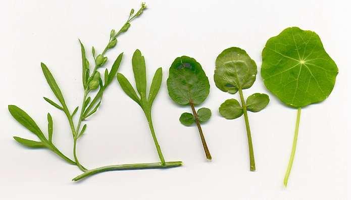 Spice Pages Cresses Lepidium sativum Nasturtium officinale