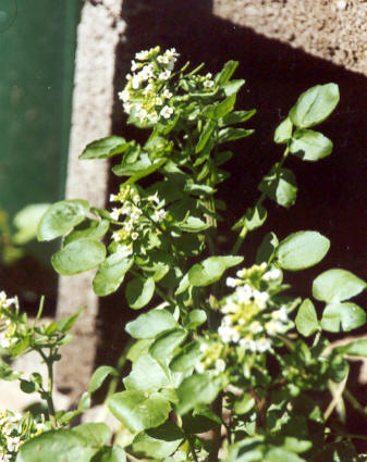 Nasturtium officinale: Well cress