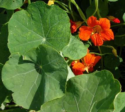 Tropaeolum majus: Indian cress flowers